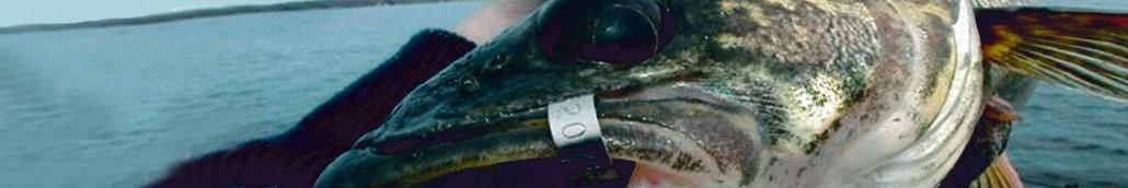 fish tag