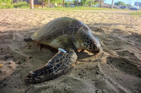 Marcaje de tortugas marinas