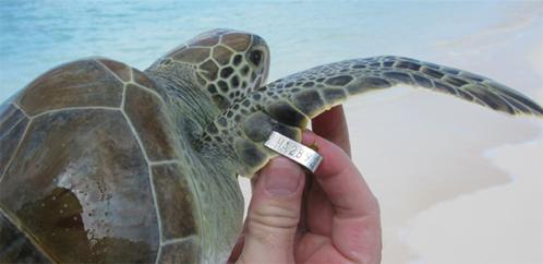 sea turtle tag