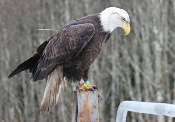 eagle wearing a leg band