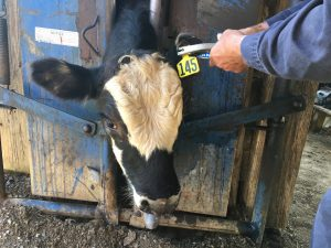 cattle ear tag on a cow