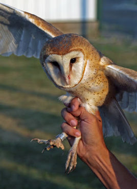 barn owl with a leg band