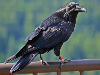 raven with a leg band